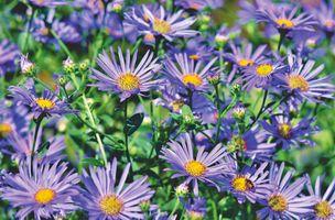 Бесплатные фото астры,композиты,луг,фиолетовый цветочный луг,фиолетовый,цвести,астровые