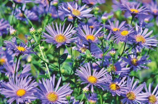 Photo free asters, composites, meadow