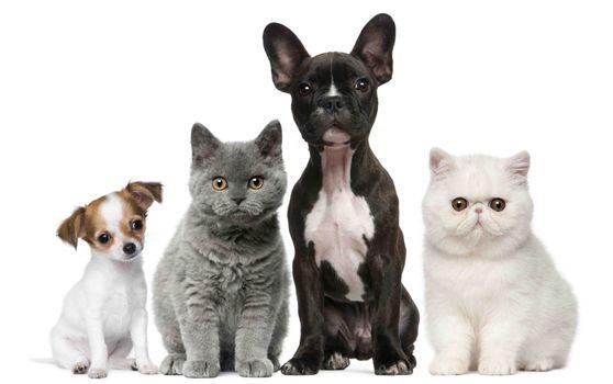 Кошки и собаки на белом фоне