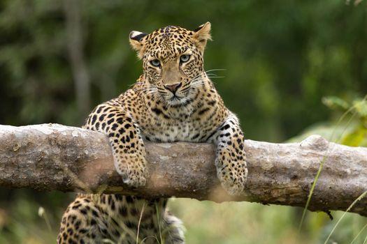 Фото бесплатно леопард, забирается на ветку, поваленное дерево