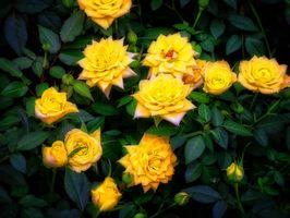 Фото бесплатно флора, розы, цветущие