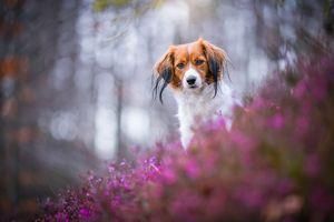 Рыжая собачка и розовый вереск