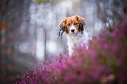 Red-haired dog and pink heather · free photo