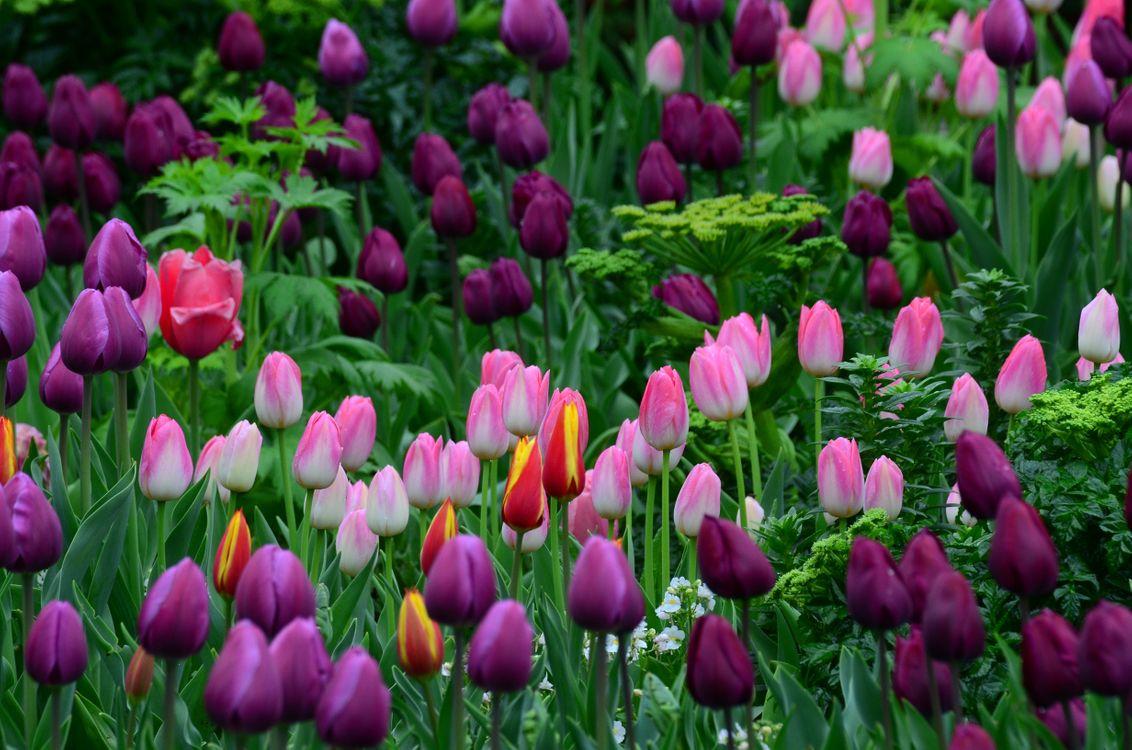 Фото бесплатно тюльпаны, поляна, разноцветные, зелень, трава, лето, цветы - скачать на рабочий стол