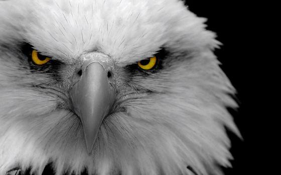 Photo free bald, birds, eagles