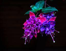 Фото бесплатно Комнатный цветок фуксия, Грацилис, Fuchsia gracilis