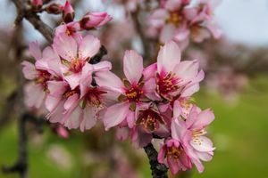 Photo free color almond, flower, flowering plant