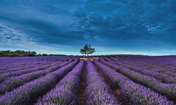 Бесплатные фото поле,лаванда,цветы,дерево,природа,пейзаж
