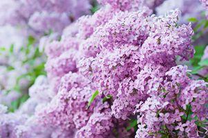 Фото бесплатно сирень, цветение, цветущие ветви