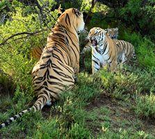 Фото бесплатно Bengal Tigers, тигр, хищник