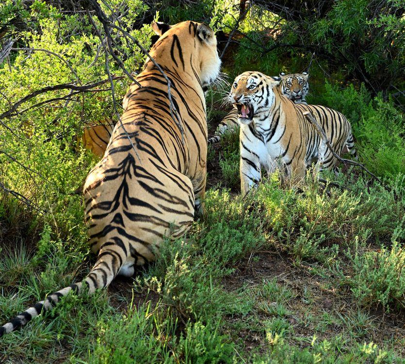 Обои Bengal Tigers, тигр, хищник картинки на телефон