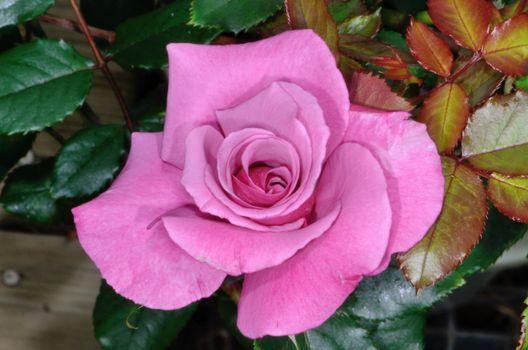 Photo free rose bud, pink rose, flowers