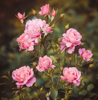 Photo free rose, shrub, flowers