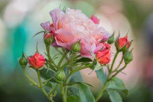 Фото бесплатно макро, ветка, розовые