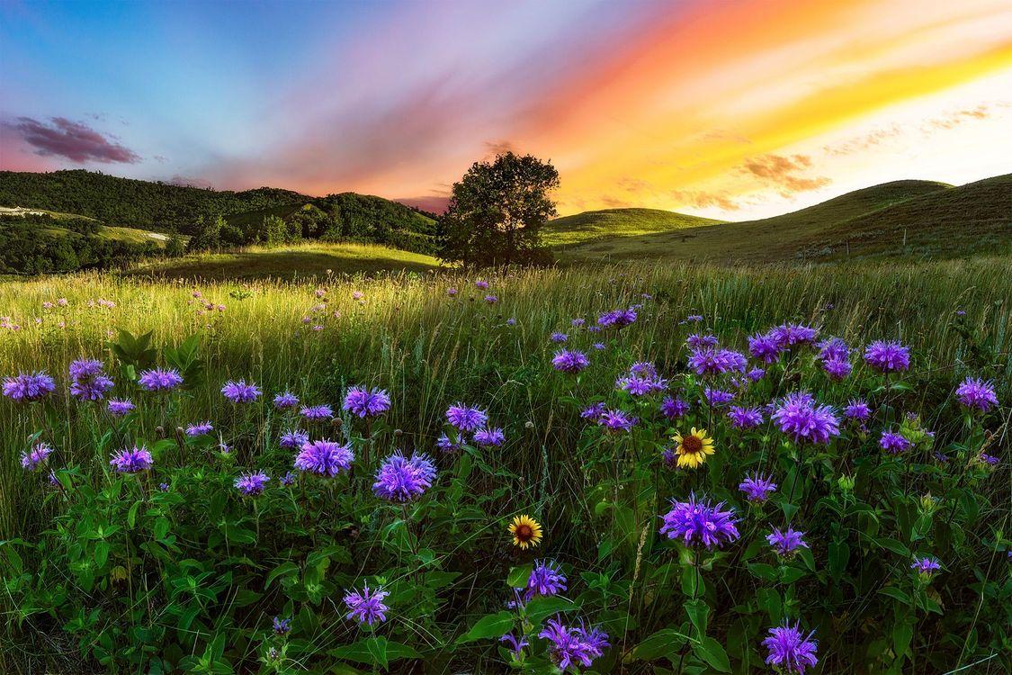 Фото бесплатно закат солнца, поле, цветы, дерево, холмы, природа, пейзаж, Саскачеван, Канада, пейзажи