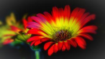 Бесплатные фото цветок,лепестки,желто-красные,гербера,гербер,флора,макро