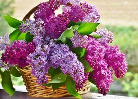 Фото бесплатно сирень, цветок, природа