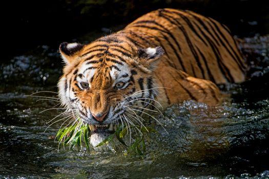 Заставки животное, тигровые тигры, природа