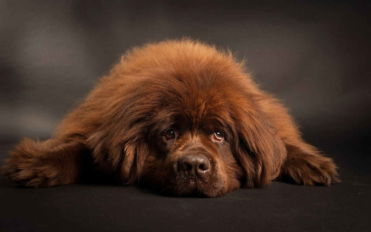 Фото бесплатно пушистая собака, лежа, отдыхая - на рабочий стол