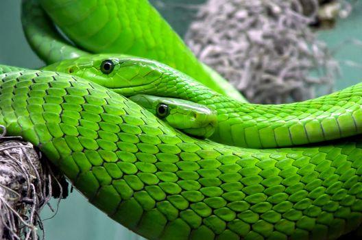 Фото бесплатно зеленые змеи, рептилия, фауна