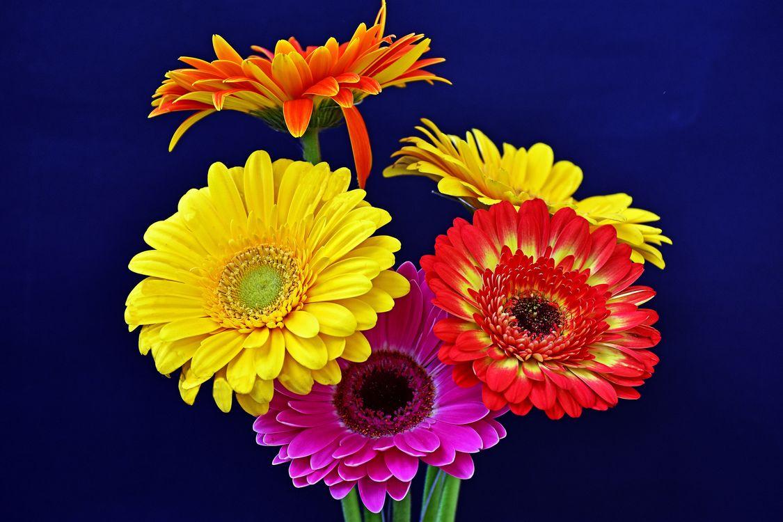 Фото бесплатно Gerbera Flowers, герберы, цветы, букет, флора - на рабочий стол