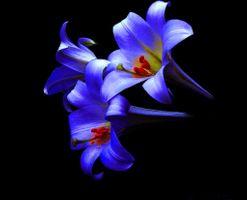 Заставки лилии, цветы, чёрный фон