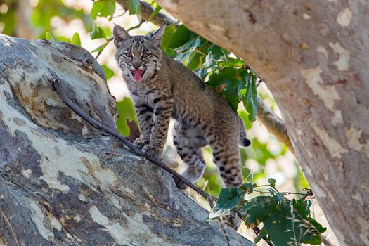 Photo free animal, lynx and without registration
