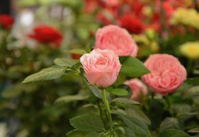 Фото бесплатно розы, куст, букет