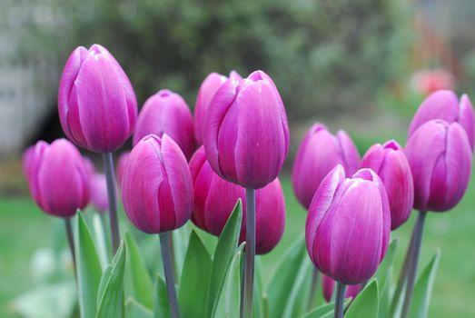 Тюльпаны на рабочий стол · бесплатное фото