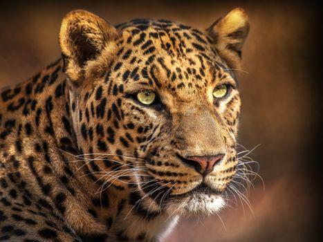 Photo free leopard, portrait photo, animal