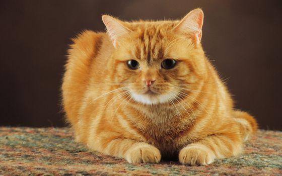 Фото бесплатно кошка, рыжая, лежа