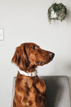 Фото бесплатно собака, ирландский сеттер, cbd
