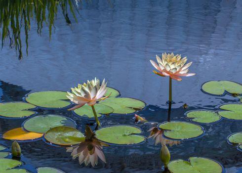 Photo free flora, burdock, flower