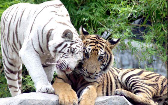Заставки белый, тигр, кошка