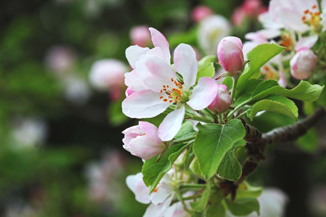 Обои цветущая ветка, яблоня, цветы, макро, цветение, весна, флора на телефон | картинки цветы