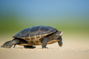 Фото бесплатно гулять пешком, дикая природа, черепаха