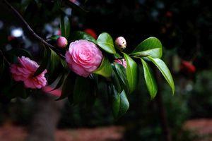 Бесплатные фото камелия,цветок,цветущая ветка,листья,флора