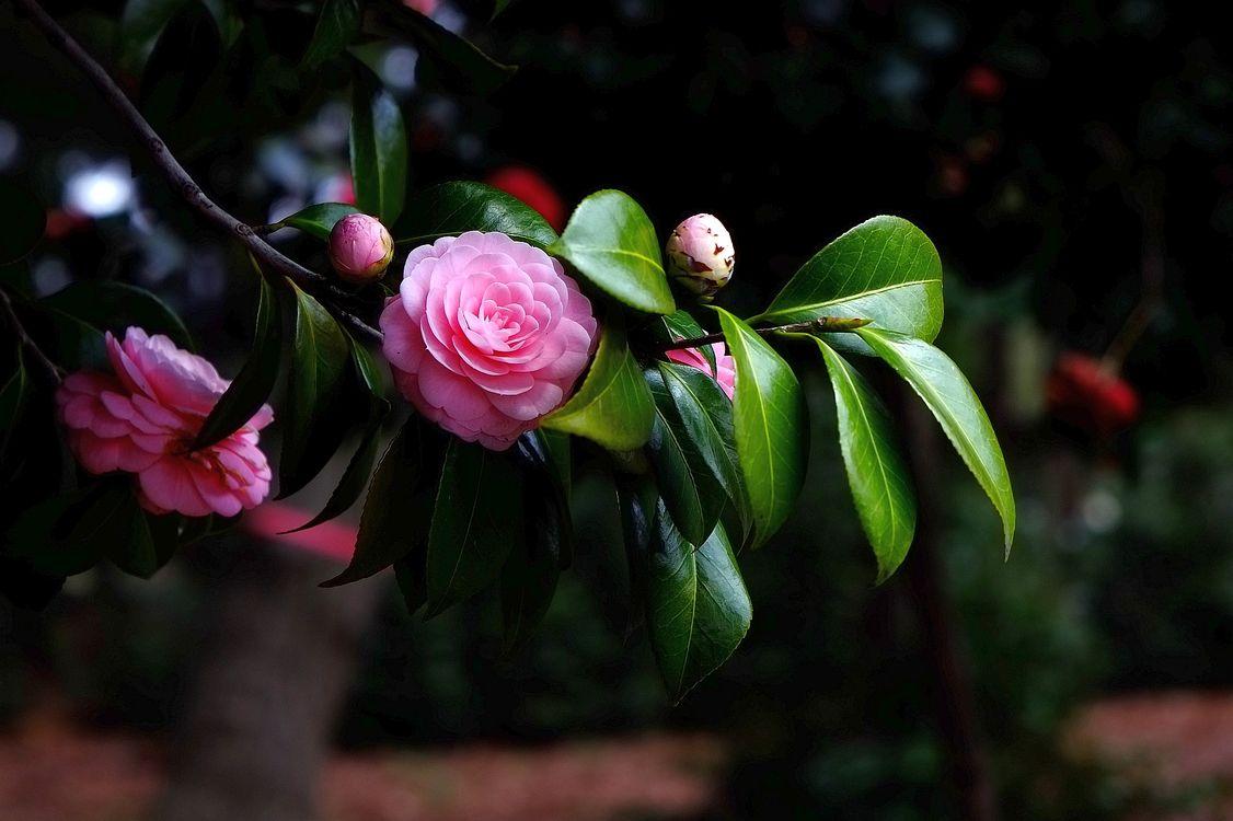 Фото бесплатно камелия, цветок, цветущая ветка, листья, флора, цветы
