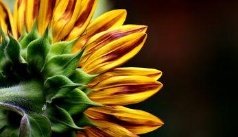 Скачать заставку цветы, подсолнухи на телефон бесплатно