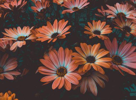 Photo free african daisy, orange flowers, osteospermum
