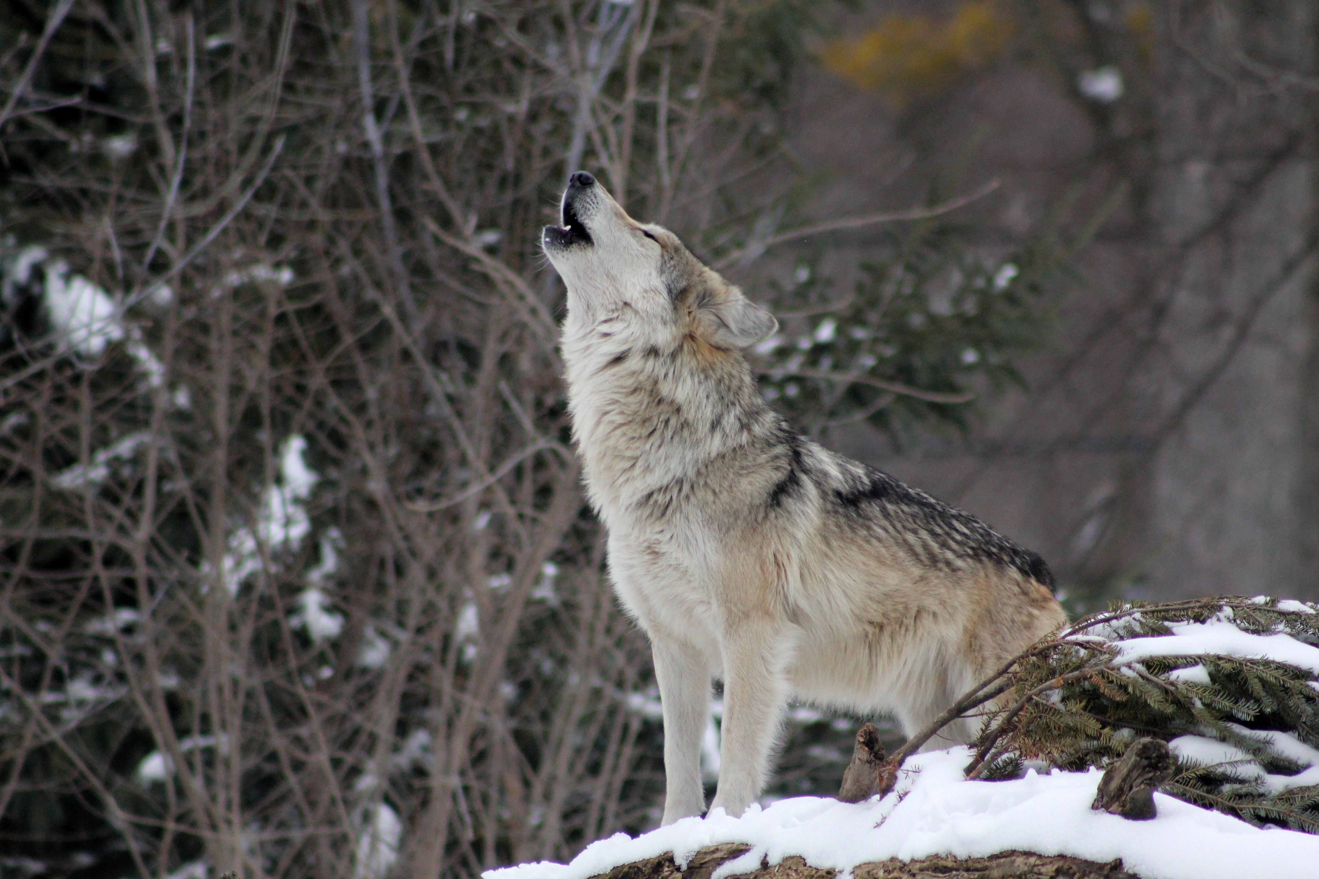 пляж здесь волк в зимнем лесу фото вот