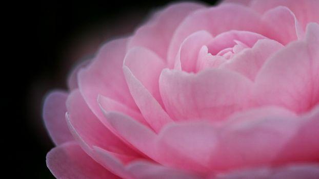 Фото бесплатно роза, розовая, бутон