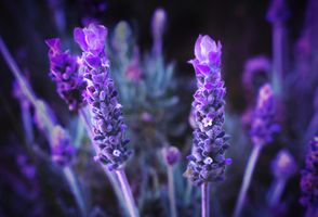 Lovely Lavender · free photo