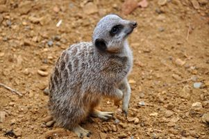 Бесплатные фото Meerkat,Chester Zoo,England,United Kingdom