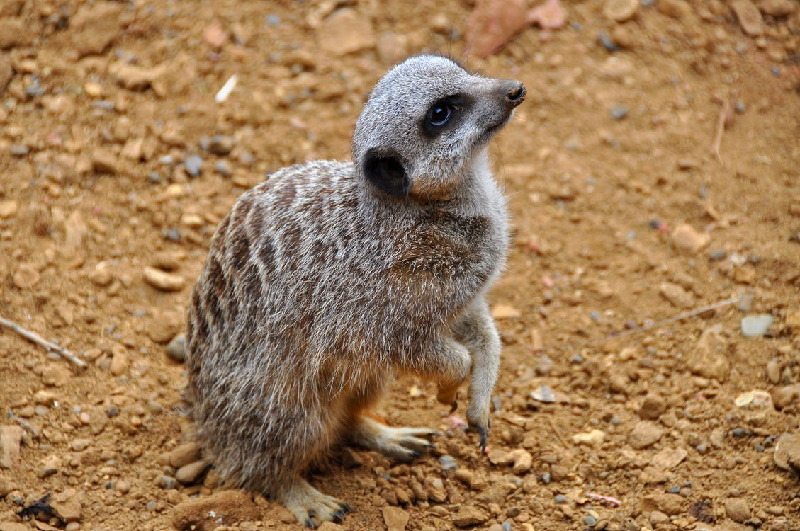 Фото бесплатно Meerkat, Chester Zoo, England, United Kingdom, животные
