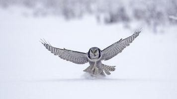 Фото бесплатно сова, птицы, снег