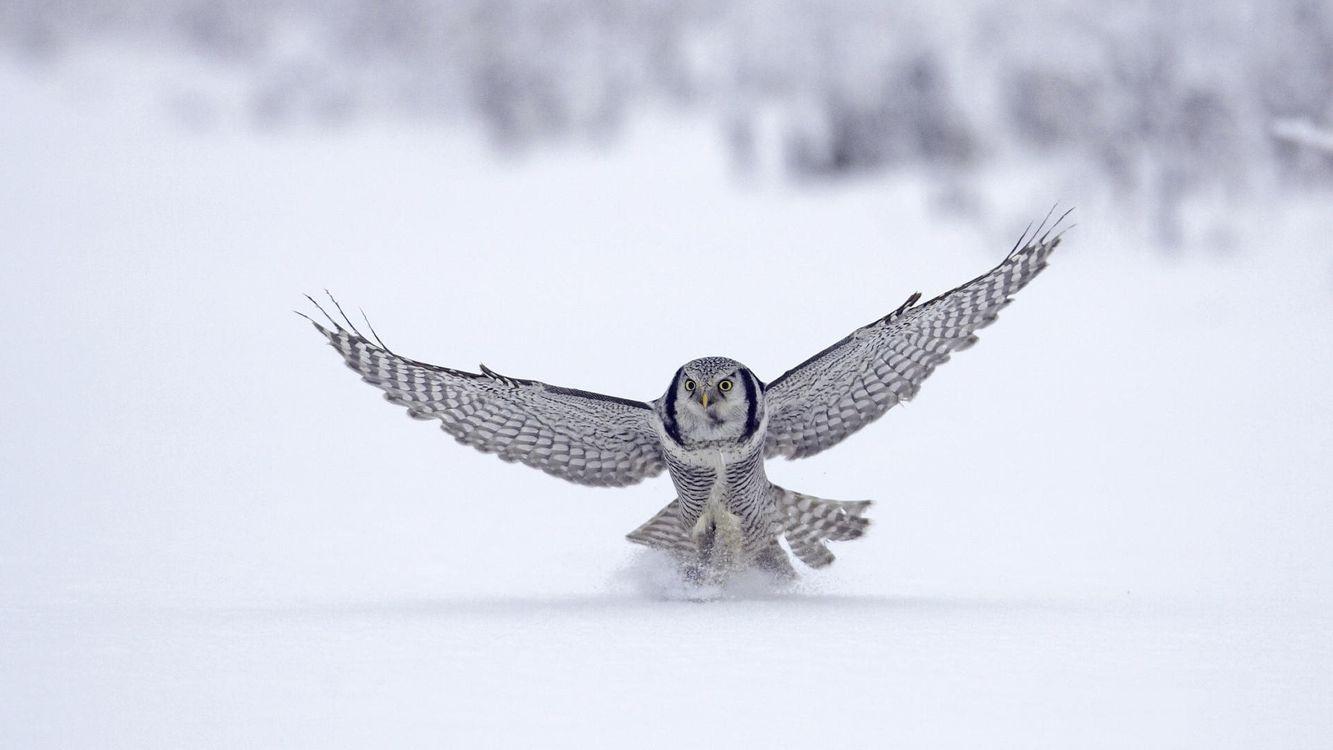 Фото бесплатно сова, птицы, снег, крылья, полет над снегом, охота, птицы