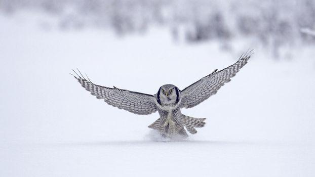 Бесплатные фото сова,птицы,снег,крылья,полет над снегом,охота