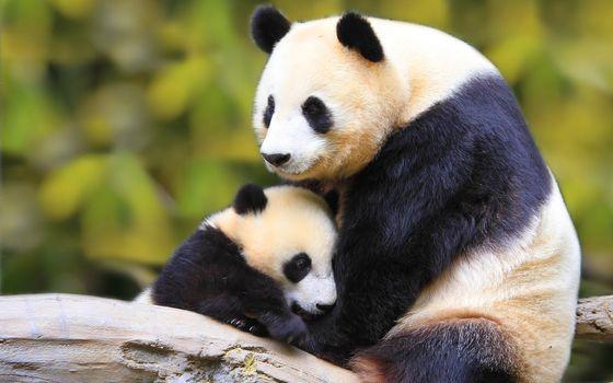 Фото бесплатно панда, природа, животное