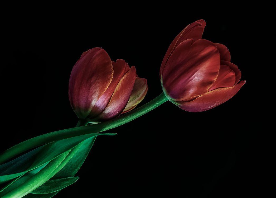 Красные тюльпаны · бесплатное фото